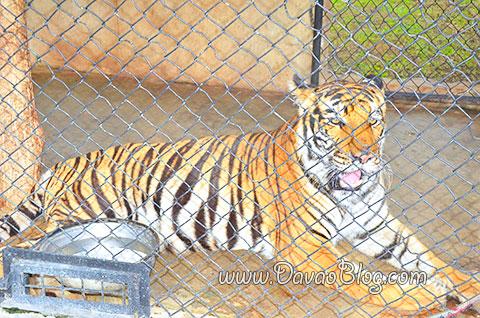 Tiger-Davao-Crocodile-Park-Davao-City-Tourist-Spots
