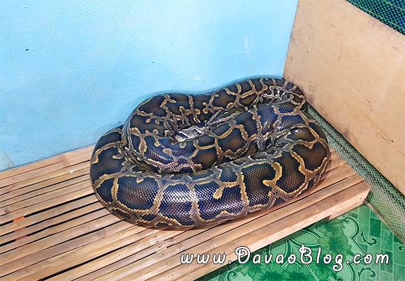 Bohol-Tourist-Spot-Bohol-PythonWildlife-Biggest-Snake-2